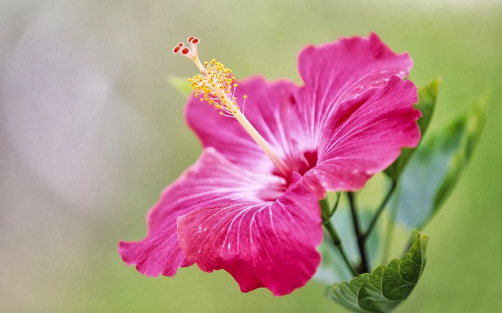 Organic Hibiscus Flower Homepage Makomas Foundation